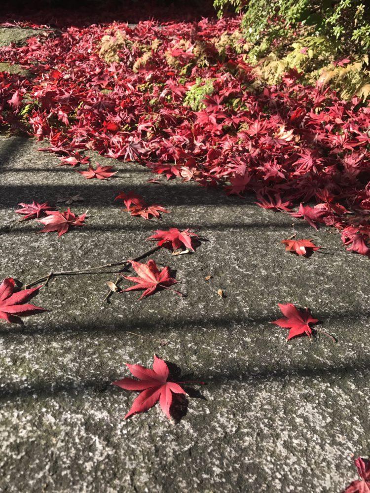 真っ赤なもみじの葉 踏みしめるほどに積もりました。