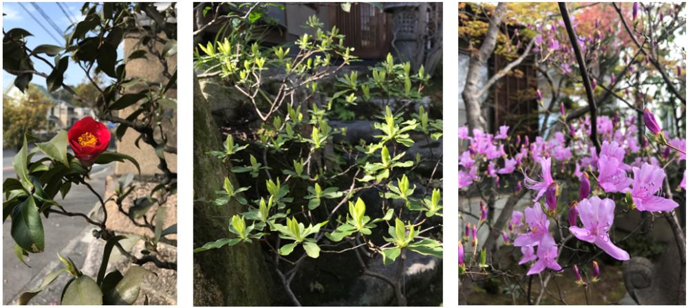 雲竜椿/山ツツジの新芽と花
