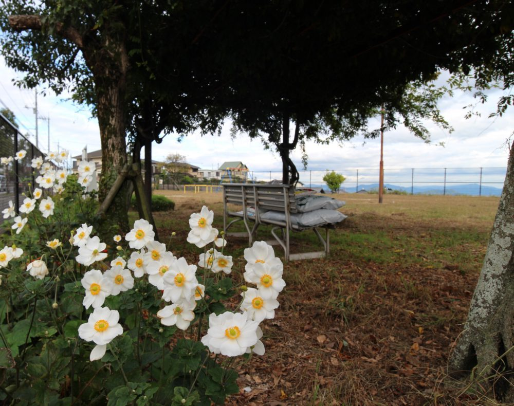 藤棚とシュウメイギクの花