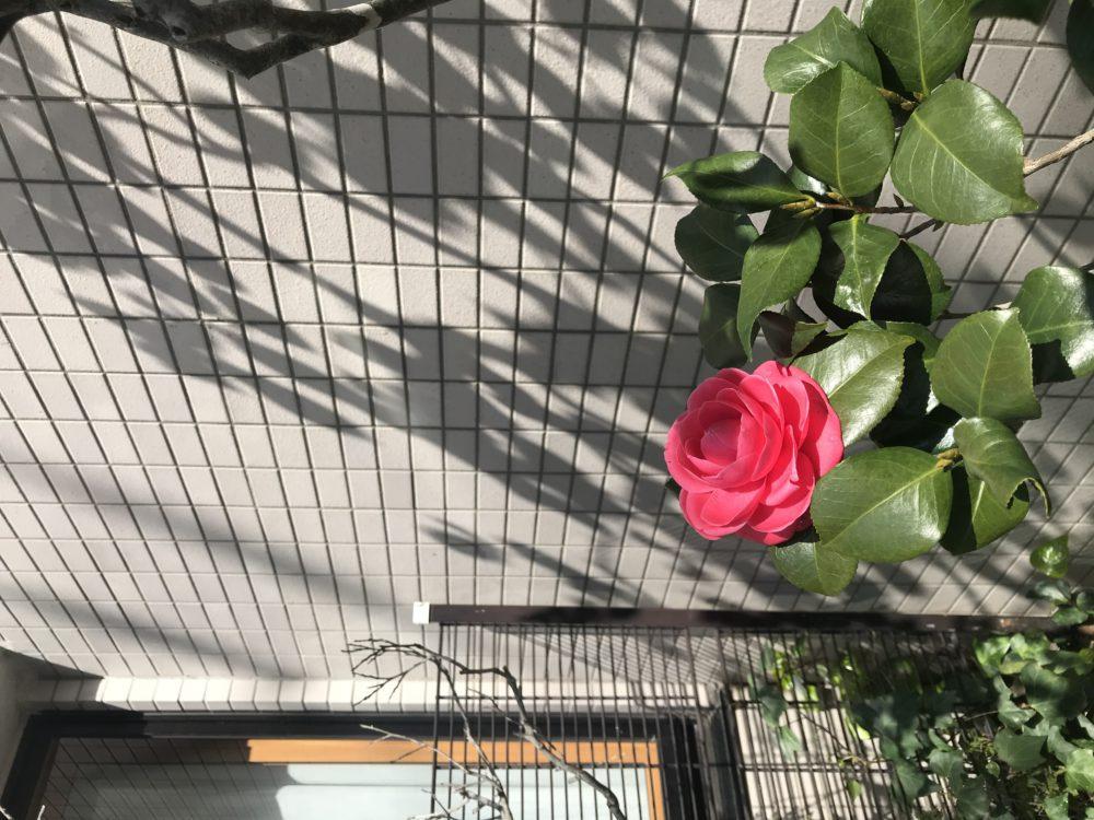 庭木の椿の花